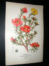 Step 1897 Antique Botanical Print. Purslane